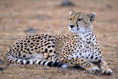 guepard photo 4x4 afrique. Black Bedroom Furniture Sets. Home Design Ideas