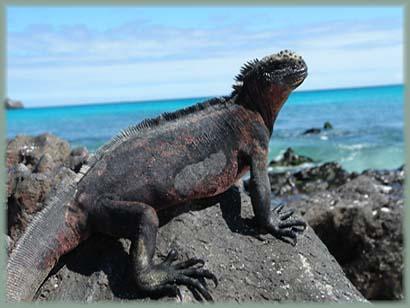 Galapagos - Iguane de mer