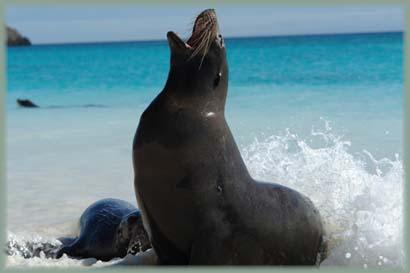 Galapagos - Otarie