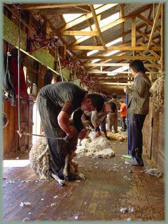 Les BOULINGUEURS..de la PLANETE.... Tonte_moutons_06